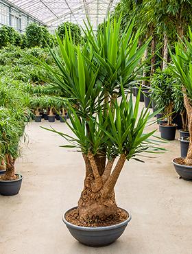 yucca elephantipes gezond groen. Black Bedroom Furniture Sets. Home Design Ideas